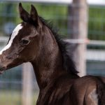Filly by Eskdale Razeem